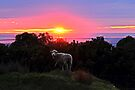 Sunset Sheep by Amy Dee