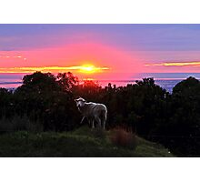 Sunset Sheep Photographic Print