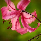 Tony's pink Lily by Clare Colins