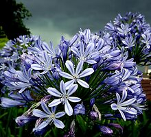 Agapanthus Before a Storm by Paul Todd