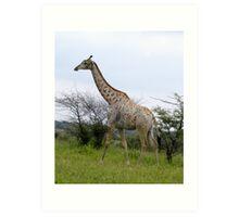 Rotschild Giraffe - Khama Nature Reserve, Botswana, Africa Art Print