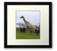 Rotschild Giraffe - Khama Nature Reserve, Botswana, Africa Framed Print