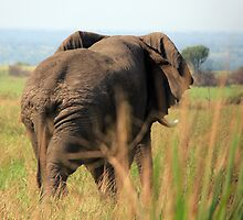 Elephant - Queen Elizabeth National Park, Uganda by Hannah Nicholas