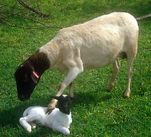 Dorper mother comforting her snow white newly born lamb, Kameeldrift, Pretoria by Irene  van Vuuren