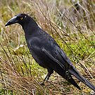 Black Currawong (Strepera fuliginasa) 49cm by Michael Tapping