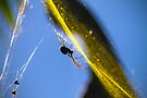 Golden Orb Weaver by Normf