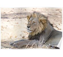 Black-maned Lion Poster