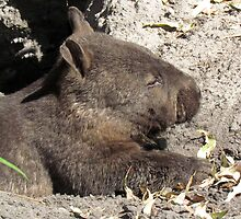 A Very Cute Southern Hairy-nosed Wombat - Peel-Zoo Pinjarra, Western Australia by Toni Kane