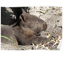 A Very Cute Southern Hairy-nosed Wombat - Peel-Zoo Pinjarra, Western Australia Poster