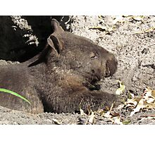 A Very Cute Southern Hairy-nosed Wombat - Peel-Zoo Pinjarra, Western Australia Photographic Print