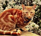 Ginger Tabby Cat by Liam Liberty