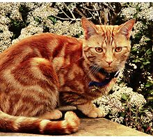 Ginger Tabby Cat Photographic Print