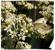 Cabbage White 2 Poster
