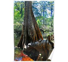 Cypress Tree on the Water Poster