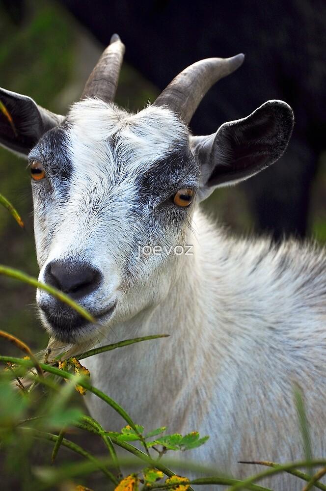 Billy Goat by joevoz