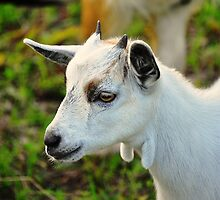 Baby Goat by joevoz
