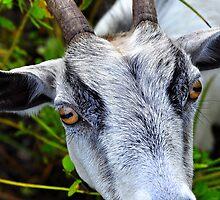 White Billy Goat  by joevoz