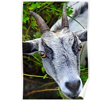 White Billy Goat  Poster