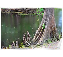 Cypress Tree Stump Poster