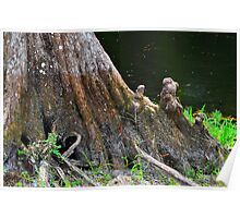 Big Cypress Tree Stump Poster