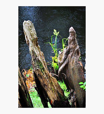 Plant Among Cypress Knees  Photographic Print