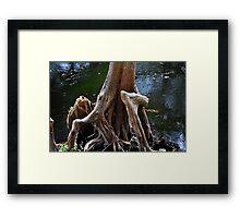 Cypress Tree with Big Knee Framed Print