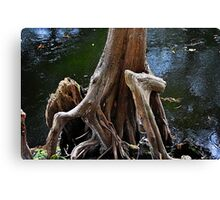 Cypress Tree with Big Knee Canvas Print