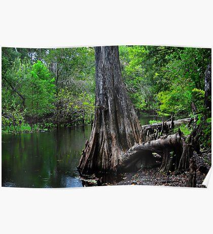 Cypress Tree Scene  Poster