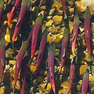 Kokanee Salmon, Spawning Migration, Near Lake Tahoe by Brian Healy Photography