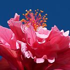 High Hibiscus by Trish Meyer