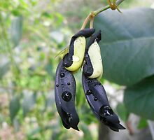 Black Coral Pea by Trish Meyer