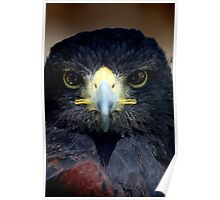 Golden-Eagle head Poster