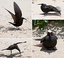 Black Noddy (_Anous minutus_) by tarnyacox