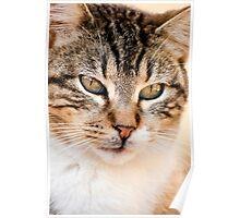 domestic feline Poster