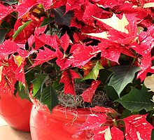 A pot of Jingle Bell Poinsettia's by tdash