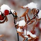 Snow Berries by barnsis
