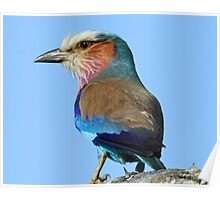 Profile of a lilac breated roller Poster