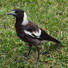 Juvenile Australian Magpie! by shortshooter-Al