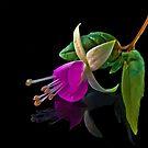 Fuchsia XXVI by Tom Newman