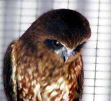 Southern Boobook Owl by Toni Kane