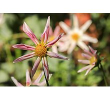 Flower with Curled Petals Photographic Print