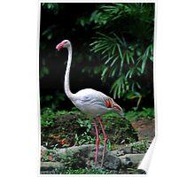Greater Flamingo - Singapore Poster