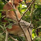 Proboscis Monkey (Nasalis larvatus), Sarawak, Borneo by Hannah Nicholas