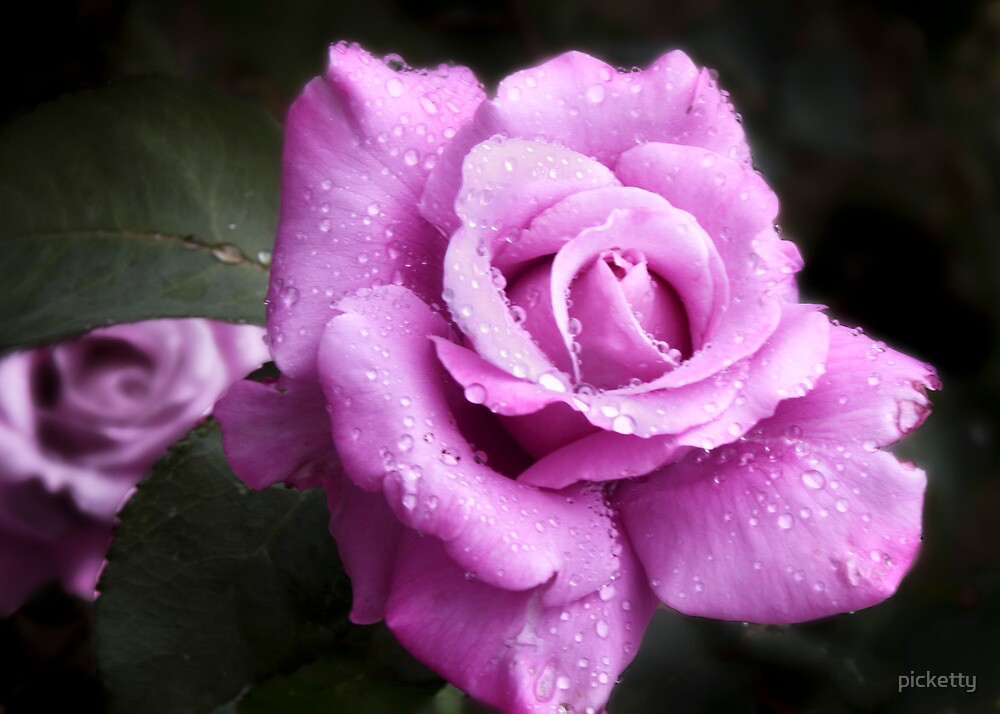 mauve rose by picketty