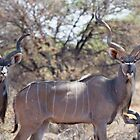 Greater Kudu by Will Hore-Lacy