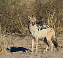 Jackal on patrol by Will Hore-Lacy