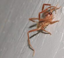 Rooi roman - Arachnid Solifugae - Red Roman by Rina Greeff