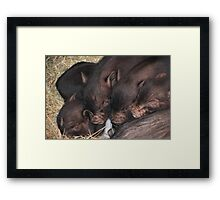 Sleeping Piglets Framed Print