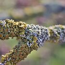 Lichen Macro and Rainbow Bokeh by Astrid Ewing Photography