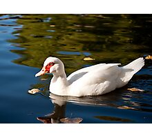 Duck - White  Photographic Print